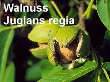 ***Walnussextrakt, färbend (Juglans regia), 50 ml