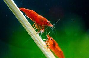Bloody Mary Cherry Shrimp, Live Aquarium Shrimp