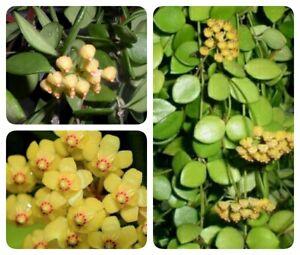 Hoya picta Ableger Rare (no philodendron, no syngonium)