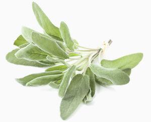 25 Samen Weißer Salbei, Indianischer Räuchersalbei (Salvia apiana), White sage