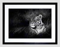 BENGAL TIGER BLACK WHITE SITTING BLACK FRAME FRAMED ART PRINT PICTURE B12X8680