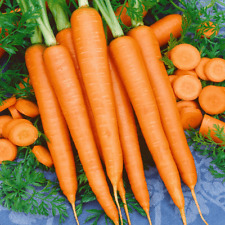 Carrot Tendersweet Seeds 500+ Vegetable Garden NON-GMO USA SELLER FREE SHIPPING