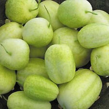 CUCUMBER 'Crystal Apple' 20 seeds round unusual heirloom vegetable garden fruit
