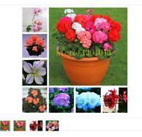 100 geranium seeds Rare Variegated Geranium potted winter garden flower