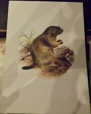 N°51 Mammal Poster the Marmot of the Swiss and French Alps