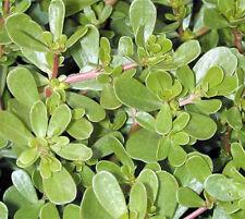 Gemüse-Portulak - Portulaca oleracea sativa - Salat - Portulak - 1000 Samen