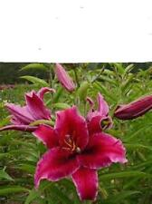 RIO NEGRO Oriental Lily growing bulb TALL plant .PLUS FREE GIFT
