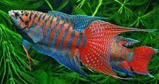 Live Aquarium Fish BLUE Paradise Gourami (PAIR OR 1 FISH. YOU CHOOSE)