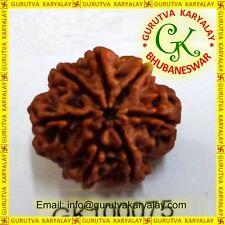 Mantra Siddha Natural Seven Mukhi Seven Face Rudraksh 20-21 MM