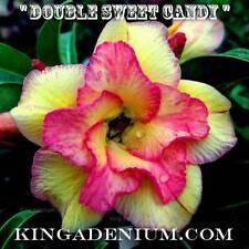 "New listing Adenium Obesum Desert Rose "" Double Sweet Candy "" 100 Seeds New Easy Bloom"