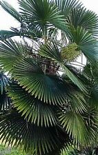 50+ Trachycarpus Bulgaria palm seeds harvested in Vancouver Canada