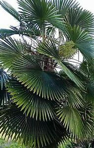 100+ Trachycarpus Bulgaria palm seeds harvested in Vancouver Canada
