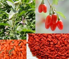 1 mini Plant de Goji Berry Lycium Barbarum Wolfberry Fruit Exotique Rouge