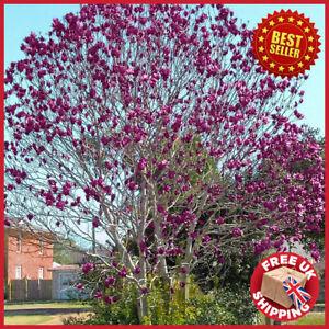 Magnolia Genie Purple Black Magnolia Black Tulip Tree 120-150cm tall in 10L pot