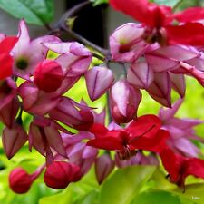 Clerodendrum Thomsoniae ( RED BLEEDING HEART ) Vine~Shrub~Pot~1 Plant