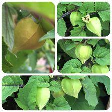 Ananaskirsche Physalis pruinosa exotisches Obst