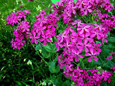 New listing Catchfly Flower Seeds *