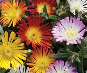 Pack x6 Delosperma Jewel of Desert 'Mixed' Perennial Garden Plug Plants