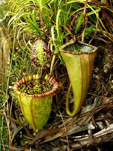 Nepenthes Attenboroughii Green 🌱 VERY RARE ⭐ MAGNIFICENT PITCHERS ⭐ Fresh Seeds