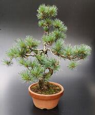 Bonsai, Mädchenkiefer, Pinus parviflora, 42 cm. ca. 12 Jahre