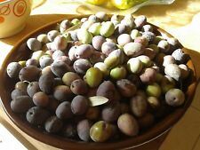 Olive tree seeds.Greek.11 Organic seeds from my tree Ideal for Bonsai training