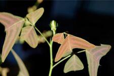 Christia vespertilionis - 10 seeds - very rare plant