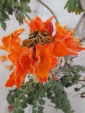 Arbol  del TULIPAN  - spathodea campanulata - 25 semillas frescas