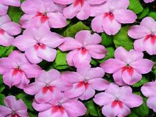50 Impatiens seeds impatiens sun and shade Sea Shell