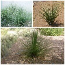 10 seeds of Nolina microcarpa ,Beaucarnea microcarpa, succulents seed C