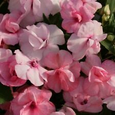 Impatiens Seeds 25 Seeds Double Royal Flush Pink