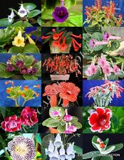 EXOTIC SINNINGIA MIX, rare african violets fragrant garden flower seed 20 seeds