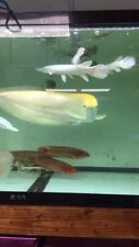 Albion Sliver Arowana 4Inch Live Fish Eat Pellets