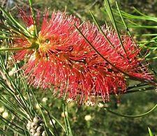 Callistemon teretifolius (bottlebrush) in 50mm forestry tube native plant