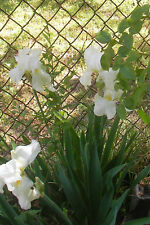 Iris bulb rhizome flag White very tall with yellow beard. Blooms in may.