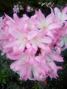 Beladona Lily (Amaryllis Belladona) 10 Seeds