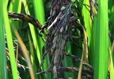 Oryza Sativa Aromatic Black Rice Seeds Rare Exotic Asian Heirloom - 200 Seeds
