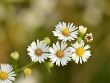 Chamomile Seeds - Roman - Non Gmo - Variety Of Sizes - Free Shipping