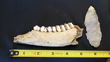 Ancient Shaman Woodland Deer Jaw Bone &Teeth Knife Handle & Flint Blade Missouri