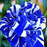 Seltene Blau Drachen Rose Blumensamen Gartenpflanze