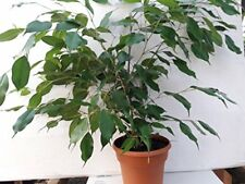 Weeping Fig Tree - Ficus Benjamina growing House plant in 6'' pot - Easy to Grow