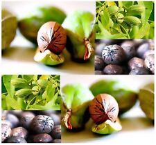 (5) Pecan - Carya illinoinensis TREE Seeds - WILD COLLECTION VARIETY