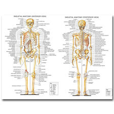 """Skeletal System Human Anatomy Silk Poster 13x18 32x43"""" Medical Education Picture"""