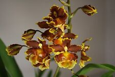 4 plant offer Mixed Oncidium orchid plants