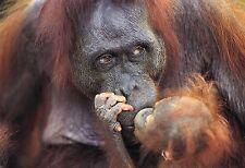 Cartel de impresión bebé orangután besos Mamá