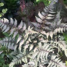 More details for athyrium niponicum 'red beauty' deciduous fern compact garden shrub   9cm pots