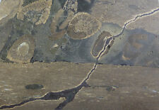 Fischsaurier ICHTYOSAURUS Dünnschliff Kiefer Holzmaden Lias Jurassic Saurier