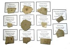 Eocene Green River fossil insect COLLECTION 11 named Species fly beetle Great!