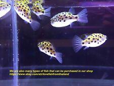 "1.5""Green Spotted Puffer Fish Dichotomyctere Nigroviridis READ TRAN SHIPPER"
