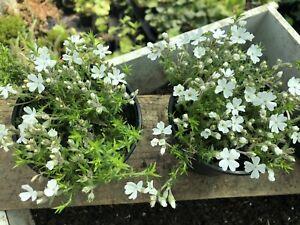 Phlox douglasii 'Ice Mountain - Hardy Alpine Plant 3 x 10cm Pots - Garden Ready