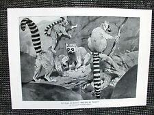Gruppe von Halbaffen Lemuren Katta Lemur catta DRUCK von 1903